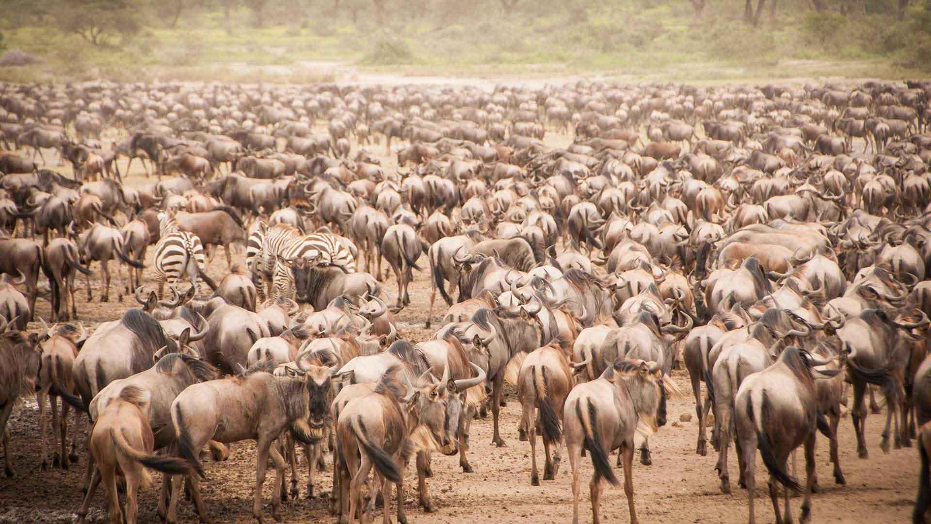 Serengeti The great migration